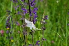 бабочки европейские Стоковое Фото