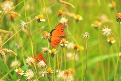 Бабочки летают и луг Стоковые Изображения