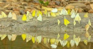 Бабочки летая вокруг болотоа соли. Стоковое Изображение RF