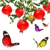 Бабочки летая и плодоовощ гранатового дерева Стоковое фото RF