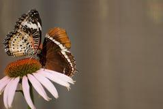 бабочки закрывают цветок ый вверх по взгляду Стоковые Изображения