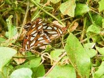 Бабочки залива frittilary сопрягая на страсти цветут лозы Стоковые Фото