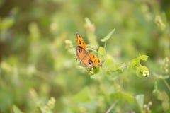Бабочки конского каштана Стоковое фото RF