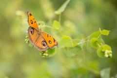Бабочки конского каштана Стоковые Изображения RF