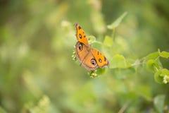 Бабочки конского каштана Стоковое Фото