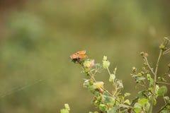 Бабочки конского каштана Стоковые Изображения