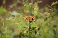 Бабочки конского каштана Стоковое Изображение