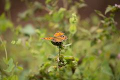 Бабочки конского каштана Стоковое Изображение RF