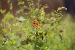 Бабочки конского каштана Стоковая Фотография RF
