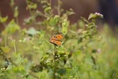 Бабочки конского каштана Стоковые Фотографии RF