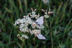 Бабочки крупного плана на белом маленьком цветке Стоковые Изображения
