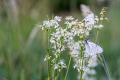 Бабочки крупного плана на белом цветке Стоковое Изображение RF