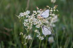 Бабочки крупного плана на белых маленьких цветках Стоковая Фотография