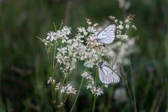 Бабочки крупного плана на белых маленьких цветках Стоковое фото RF