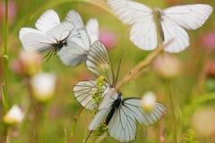 бабочки летая лужок Стоковые Фотографии RF