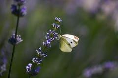 Бабочки лимона на лаванде Стоковые Изображения