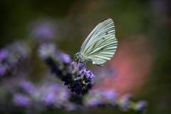 Бабочки лимона на лаванде Стоковое фото RF