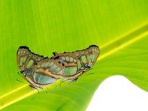 Бабочки малахита сопрягая на лист Stelenes Siproeta Стоковые Изображения RF