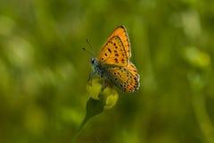 бабочки Мед-бабочки стоковые фото