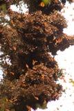 Бабочки монарха в дереве на Valle de Браво Стоковые Изображения RF