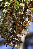 Бабочки монарха в дереве Стоковые Фотографии RF