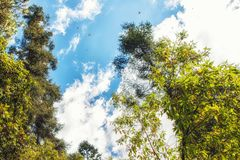 Бабочки монарха летая на Re святилища бабочки монарха Стоковые Изображения