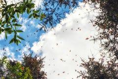 Бабочки монарха летая на Re святилища бабочки монарха Стоковые Фотографии RF