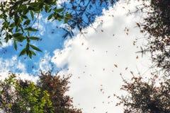 Бабочки монарха летая на Re святилища бабочки монарха Стоковая Фотография RF