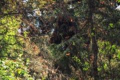 Бабочки монарха летая на Re святилища бабочки монарха Стоковые Изображения RF
