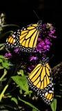 2 бабочки монарха на будлее Стоковые Изображения RF