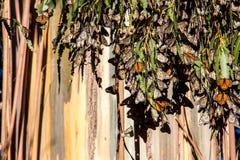Бабочки монарха на дереве евкалипта Стоковая Фотография RF