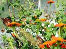 Бабочки монарха озера Торонто и мексиканские солнцецветы 2016 Стоковые Фото