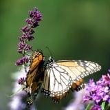 Бабочки монарха озера Торонто и цветки 2016 buddleja Стоковое Фото