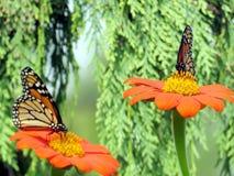 Бабочки монарха озера Торонто на мексиканских солнцецветах 2016 Стоковое фото RF