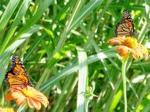 Бабочки монарха озера Торонто на мексиканских солнцецветах 2016 Стоковые Фотографии RF