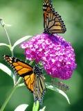 Бабочки монарха озера Торонто на buddleja цветут 2016 Стоковые Изображения RF