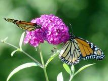 Бабочки монарха озера Торонто на buddleja цветут 2016 Стоковое Изображение
