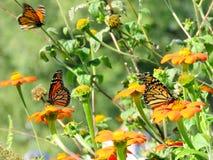 Бабочки монарха озера Торонто среди мексиканских солнцецветов 2016 Стоковые Изображения RF