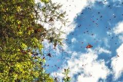 Бабочки монарха приезжая на Michoacan, Мексику Стоковая Фотография RF