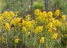 Бабочки монарха приземляясь на Goldenrod горизонтальную Стоковая Фотография