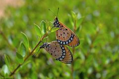 Бабочки монарха сопрягая пары Стоковое Изображение RF
