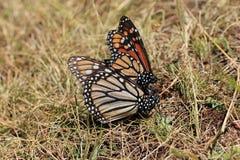 Бабочки монарха сопрягая, Michoacan, Мексика Стоковая Фотография RF