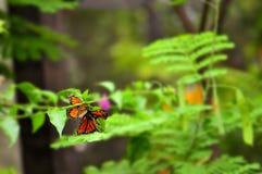 Бабочки монарха Стоковая Фотография RF