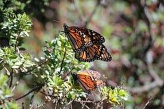 Бабочки монарха Стоковая Фотография