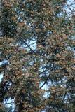 Бабочки монарха Стоковое Изображение