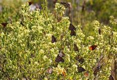 Бабочки монарха Стоковые Фотографии RF