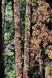Бабочки монарха, Michoacan, Мексика Стоковое Фото