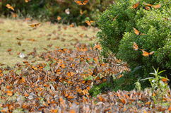 Бабочки монарха, Michoacan, Мексика Стоковые Изображения