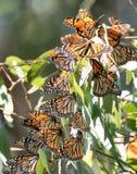 Бабочки монарха - plexippus Даная Стоковые Изображения RF