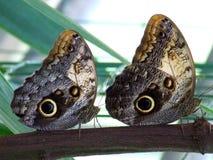 2 бабочки наблюданных сычом на строке Стоковая Фотография RF